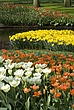 Flowers at Keukenhof Gardens, near Leiden - 12679-20-1
