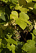 Grapes and Leaves, Royal Botanical Gardens at Kew - 12983-560-1