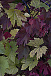 Autumn leaves, Royal Botanical Gardens at Kew - 12983-580-1