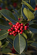 Leaves and berries of Cotoneaster lacteus, Royal Botanical Gardens at Kew - 12983-590-1