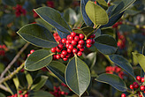 Leaves and berries of Cotoneaster lacteus, Royal Botanical Gardens at Kew - 12983-600-1