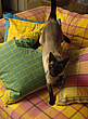 Siamese cat on bright yellow, pink and green coloured plaid cushions - 4606-50-1