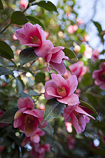 Pink Camellia x williamsii 'Mary Christian' in the Wild Garden area at RHS Wisley in March - 13339-100-1