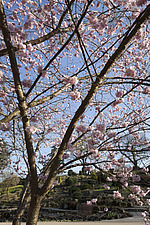Prunus 'Accolade' in full pink blossom at RHS Wisley, Surrey, UK - 13339-120-1