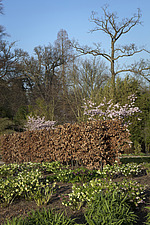 Coppery-leafed beech hedge, pink flowering cherry tree, prunus 'Accolade', and Hellebores on the slopes overlooking the lake at RHS Wisley provide an... - 13339-140-1