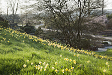 Bright yellow narcissi on the sloping Alpine Meadow at RHS Wisley in spring - 13339-160-1