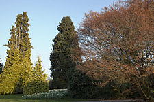 On the Conifer lawn at RHS Wisley, Surrey, UK, in March, tall, dense, golden and deep green conifers above a carpet of pale greenish-white narcissii c... - 13339-190-1