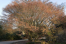 Leaf buds bursting, Acer palmatum 'Katsura' lights up a late March evening at RHS Wisley, Surrey, UK - 13339-200-1