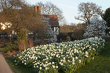 Narcissus, Magnolias and Cornus floodlit by March early evening light at RHS Wisley, Surrey, UK - 13339-210-1