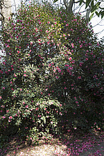 Pink Camellia x williamsii 'Mary Christian' in the Wild Garden area at RHS Wisley in March - 13339-90-1