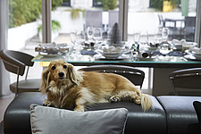 Pure breed long haired miniature dachshund  in front of out of focus silver and white Christmas decorations - 16753-120-1