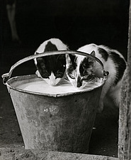 Two cats drinking milk from a pail - 16897-2620